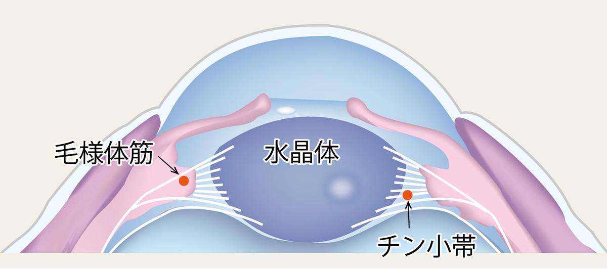 毛様体筋と水晶体