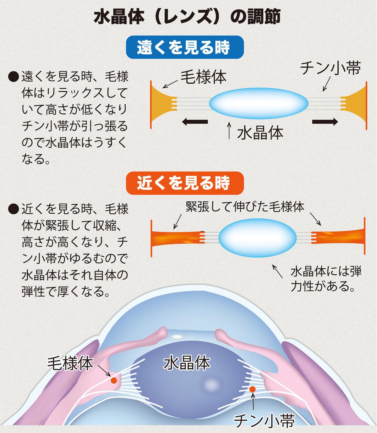 目の調節機能イラスト