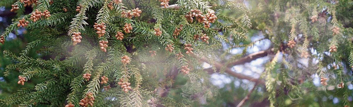 スギ花粉の写真