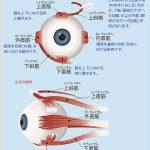 眼球を動かす筋肉、外眼筋
